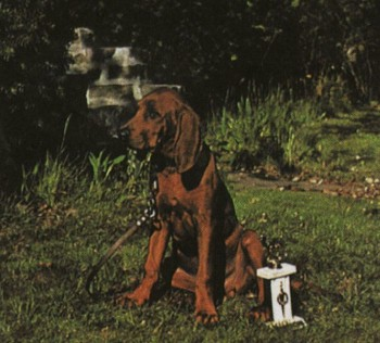 Редбон-кунхаунд Redbone coonhound