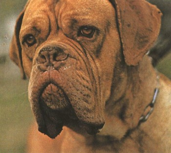 Французский Мастиф Бордосский дог Dogue de Bordeaux